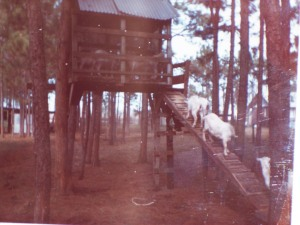 Goats in the treehouse