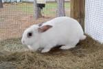 """""""Sugar Pie"""" shelter rabbit"""