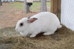 """Sugar Pie"" shelter rabbit"