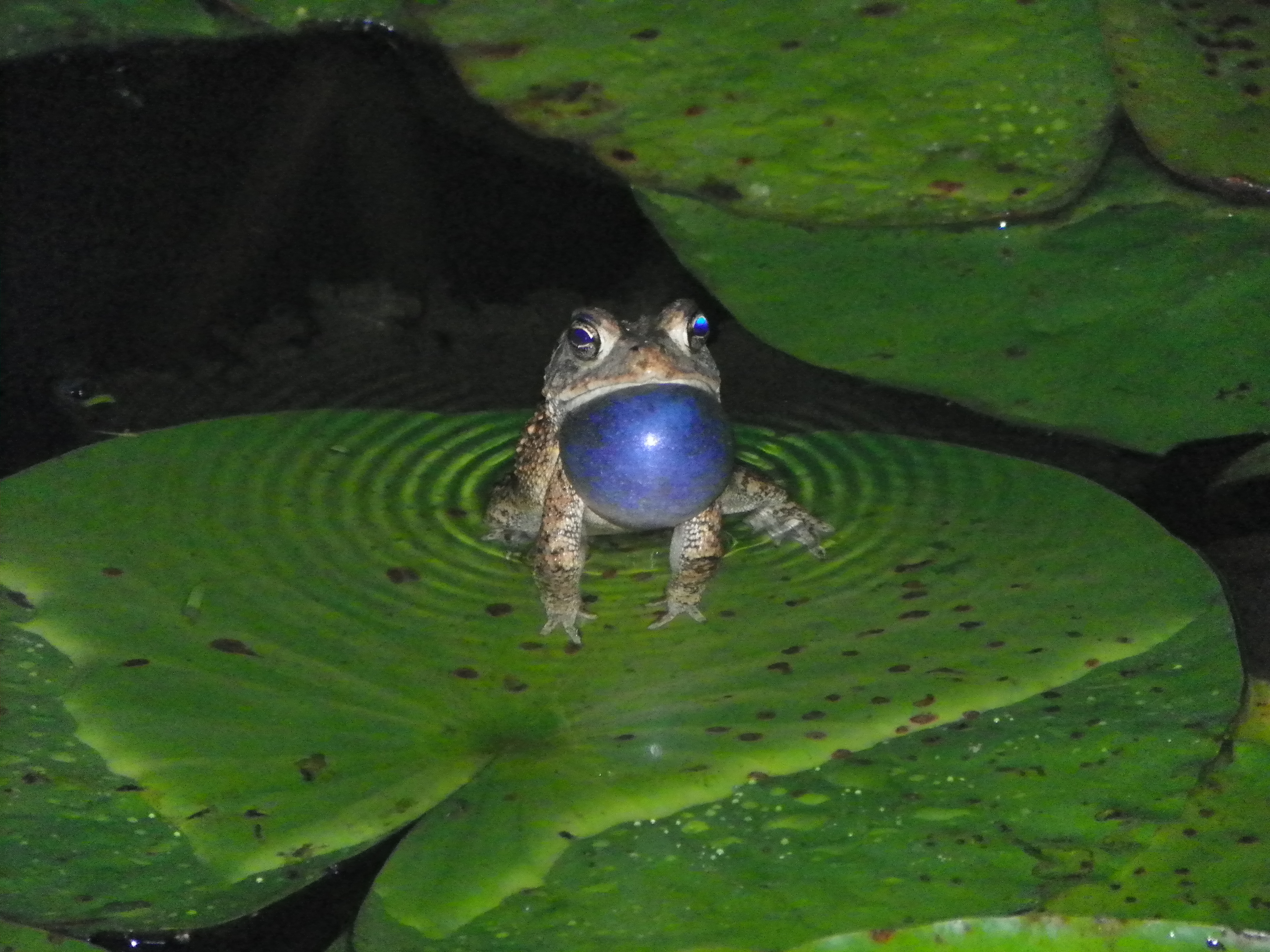frogs mating ritual reflections by kathy