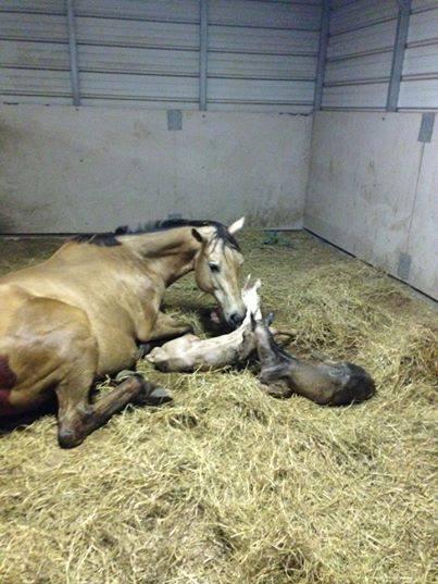 1940018_548433168588387_701705306_n twin horses 2