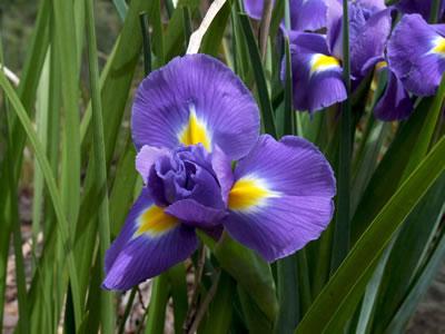 Iris 12f